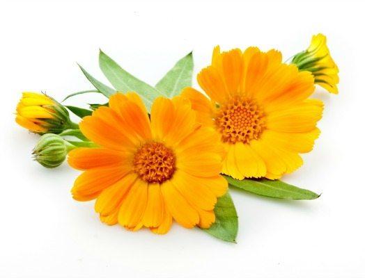 Calendula-Flower11